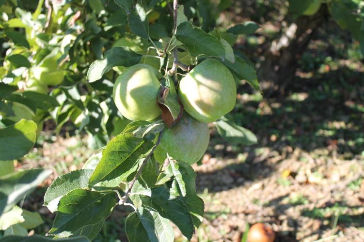 apple-picking13