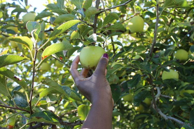 apple-picking18