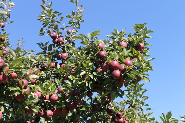 apple-picking19